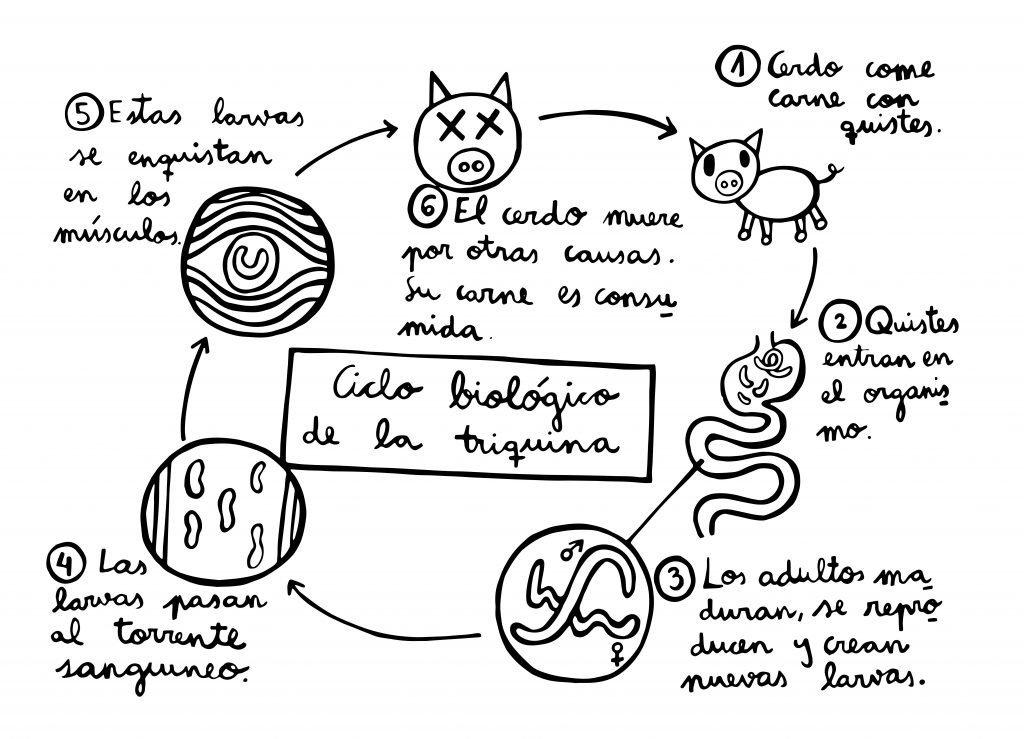 ciclo biológico triquina